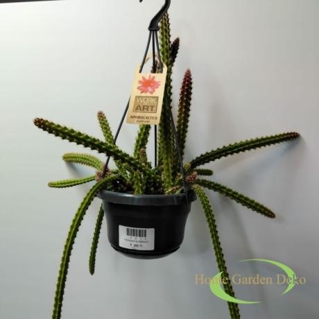 Aporocactus Malisonii