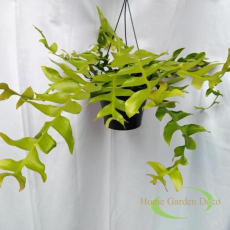 Epiphyllum Chrysocardium Fishbone