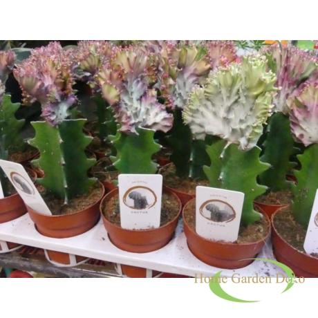 Euphorbia lactea Cristata / Sövénykutyatej