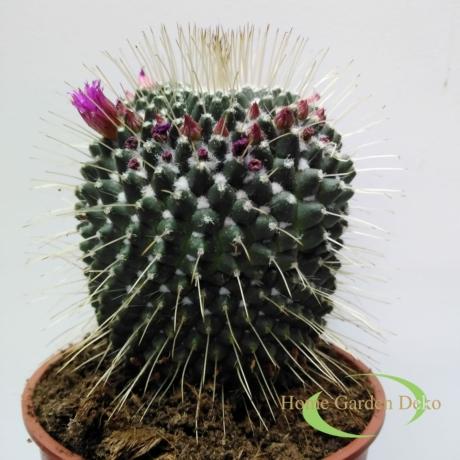 Mammillaria Un Pico