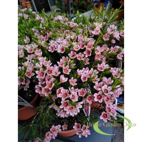 Chamelaucium Sarahs Delight