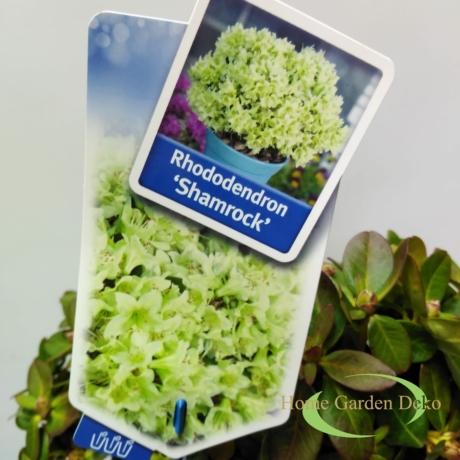 Rhododendron Shamrock