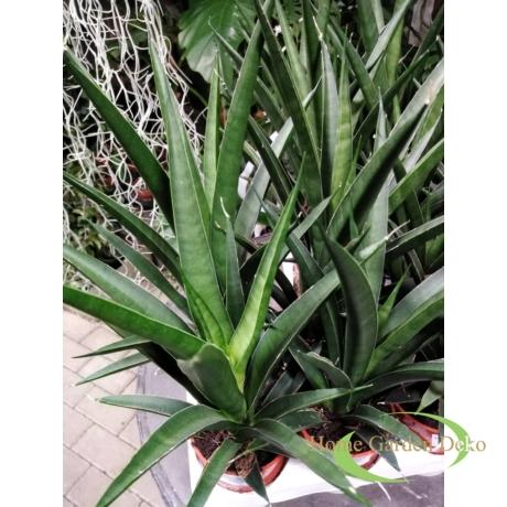 Sansevieria Comet Amazon Green