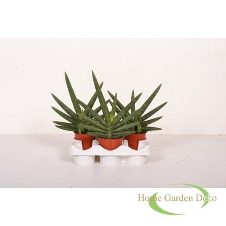 Sansevieria cylindrica Tiara Dino Green