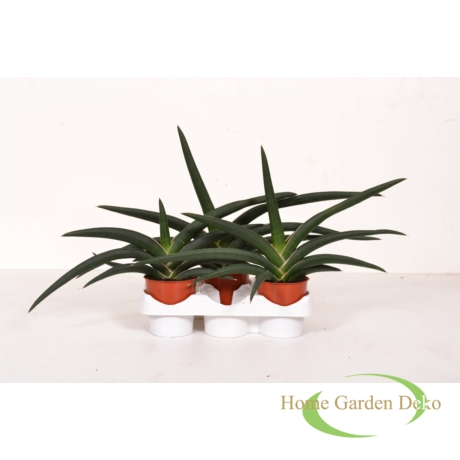 Sansevieria cylindrica Tiara Jungle Green