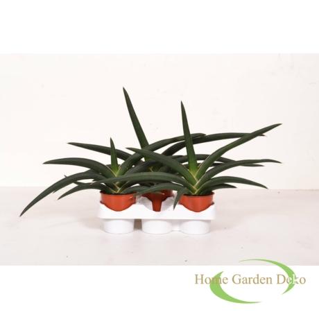 Sansevieria cylindrica Tiara Jungle Green