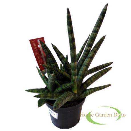 Sansevieria cylindrica Shabiki