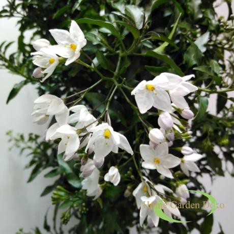 Solanum Rantonetti (Solanum jasminoides)