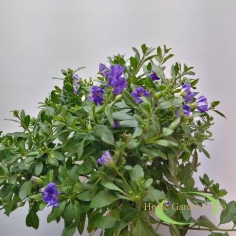 Solanum Rantonetti kék