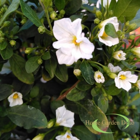 Solanum rantonnetii White Charles / Fehér encián
