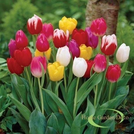 Tulipán mix 50 darabos