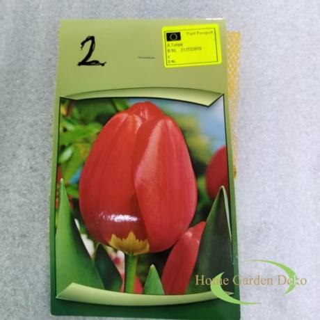 Tulipán Nr.2