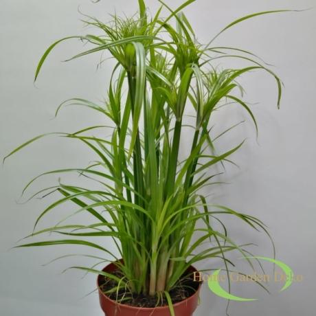 Cyperus papyrus Percamentus